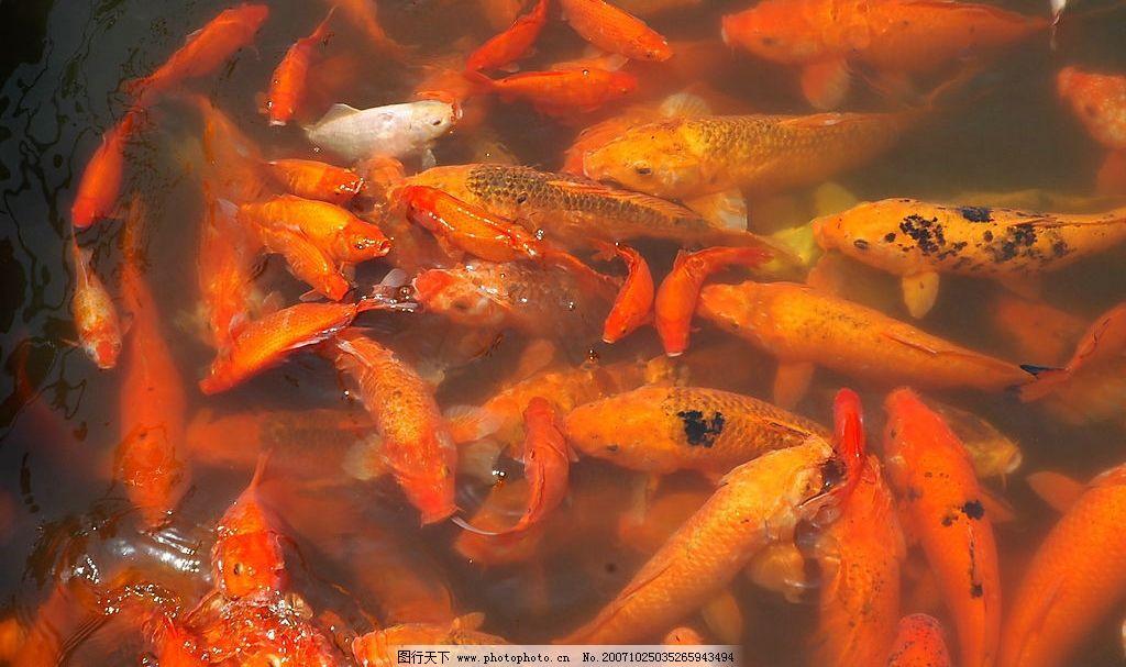 鱼 红鲤鱼 景鲤 生物世界 鱼类 动物 摄影图库 300 jpg