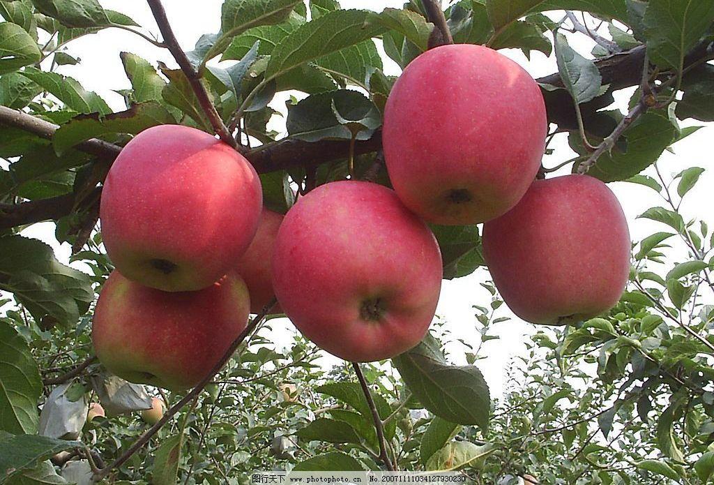 精美水果苹果葡萄核桃 旅游摄影 自然风景 高精水果 摄影图库 96 jpg