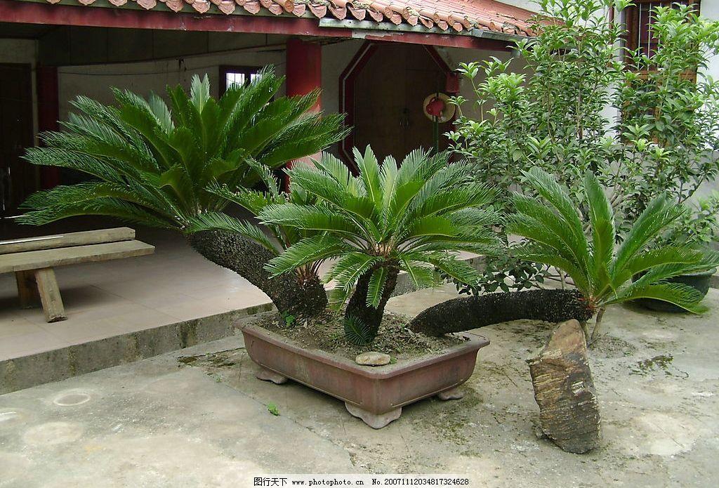 铁树 百年铁树 自然景观 自然风景 摄影图库