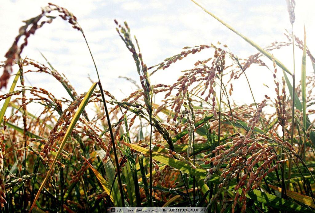 最美的风景手抄报稻田