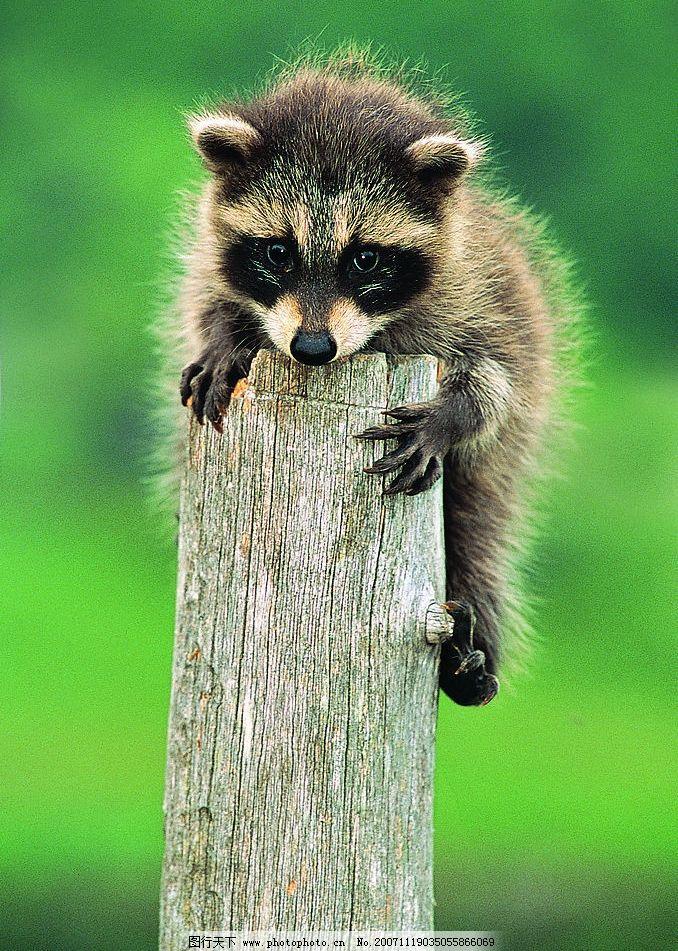 狸 生物世界 野生动物 摄影图库 72 jpg