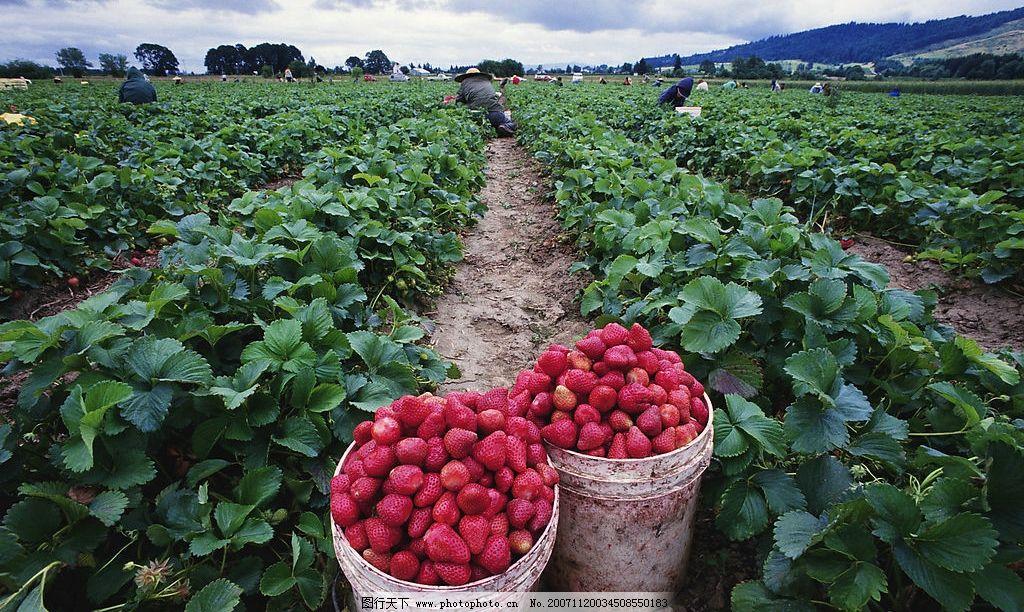 蔬菜水果类~草莓丰收 国外 旅游 风景 风光 风情 瑞士 奶 设备 养殖 现代化 平面 广告 设计 制作 生产 食品 农民 蔬菜 水果 自然景观 田园风光 瑞士农家系列之四(蔬菜水果) 摄影图库 300 JPG