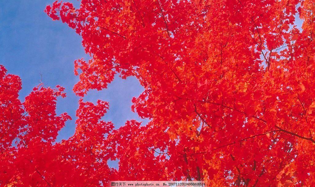 精品 素材 风景 秋天 风光 红叶 秋天景色 枫叶 自然景观 自然风景 摄