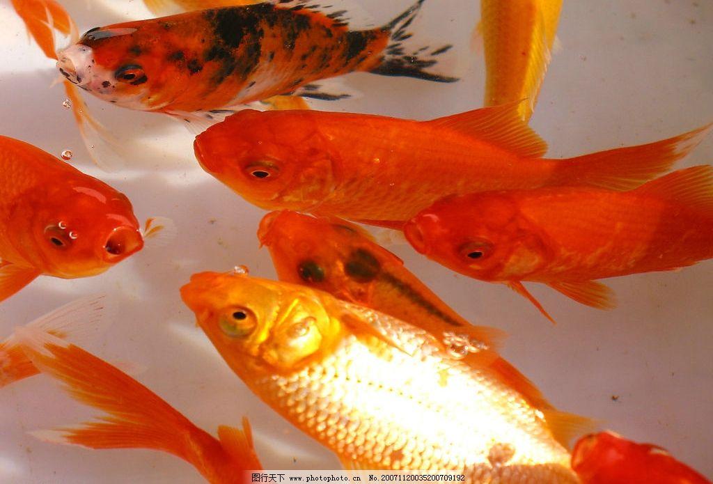 小金鱼2图片_鱼类_生物世界
