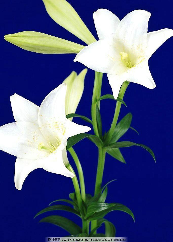 百合花 花朵 鲜花 花草 摄影 生物世界 300dpi jpg