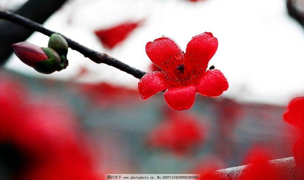 木棉花 木棉 花 生物世界 树木树叶 摄影图库 96 jpg
