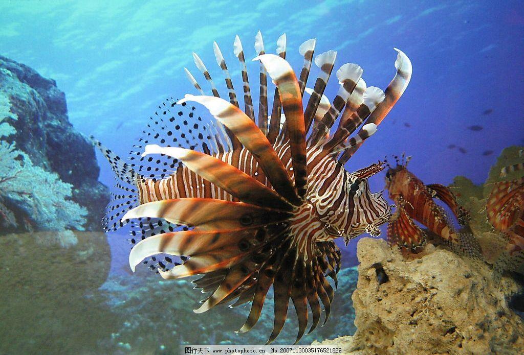 狮子鱼 鱼 有毒水生物 生物世界 海洋生物 危险水生物 摄影图库 180