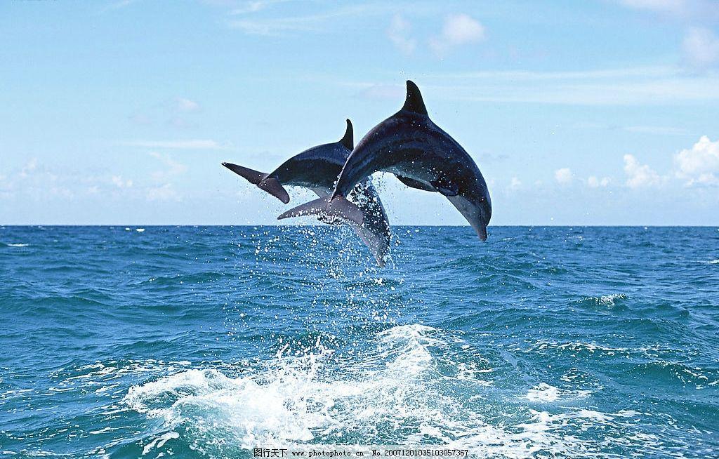 海豚图片,海洋动物 高质量图 鱼 生物世界 海洋生物