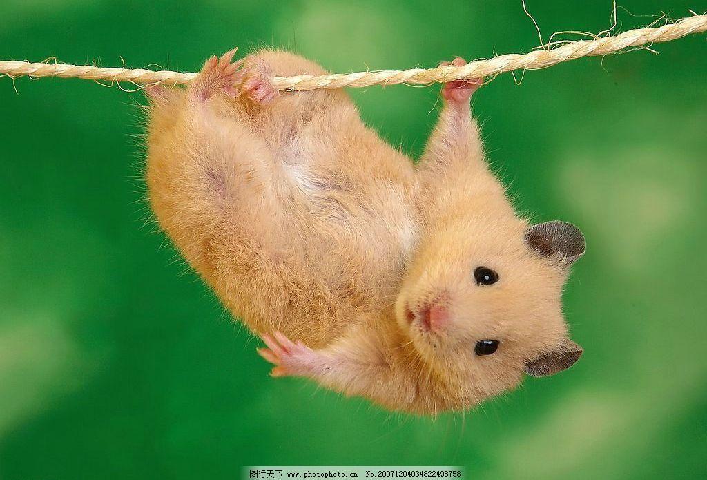 老鼠 鼠年 可爱 自然景观 自然风景 风景图片 摄影图库 麦芽 72 jpg