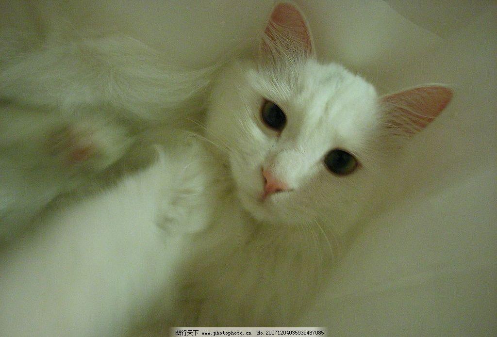 白猫 动物 生物世界 家禽家畜 摄影图库 72 jpg