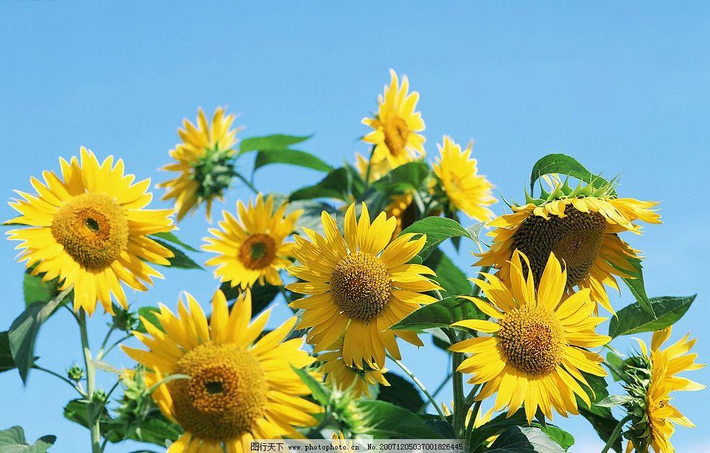 向日葵图片,生活素材 清凉一夏 摄影图库-图行天下图库