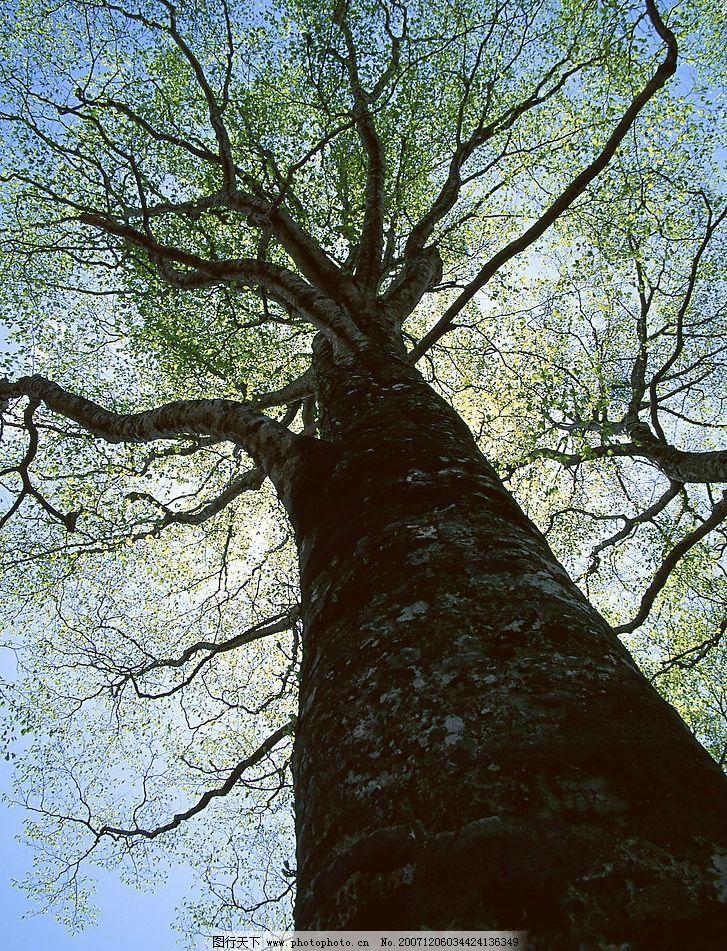 苍天大树图片