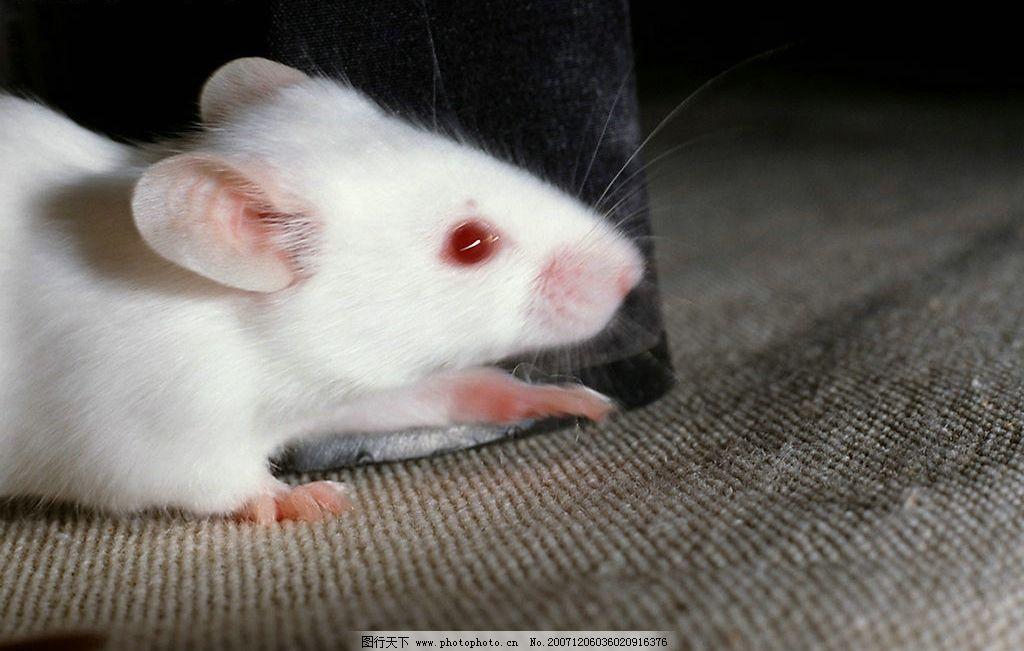 可爱老鼠图片