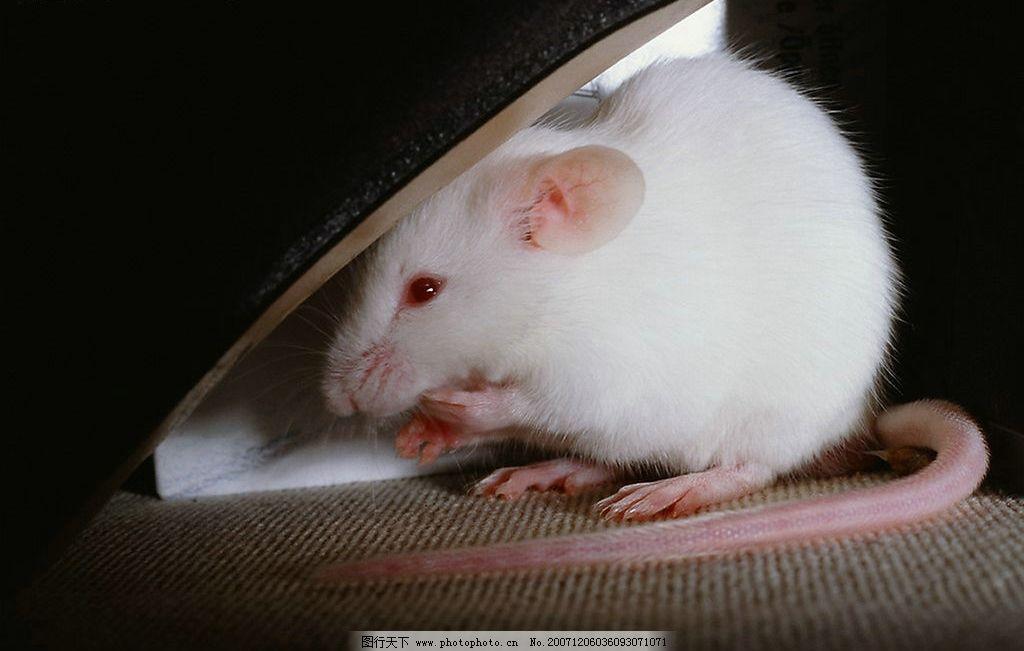 可爱的老鼠图片