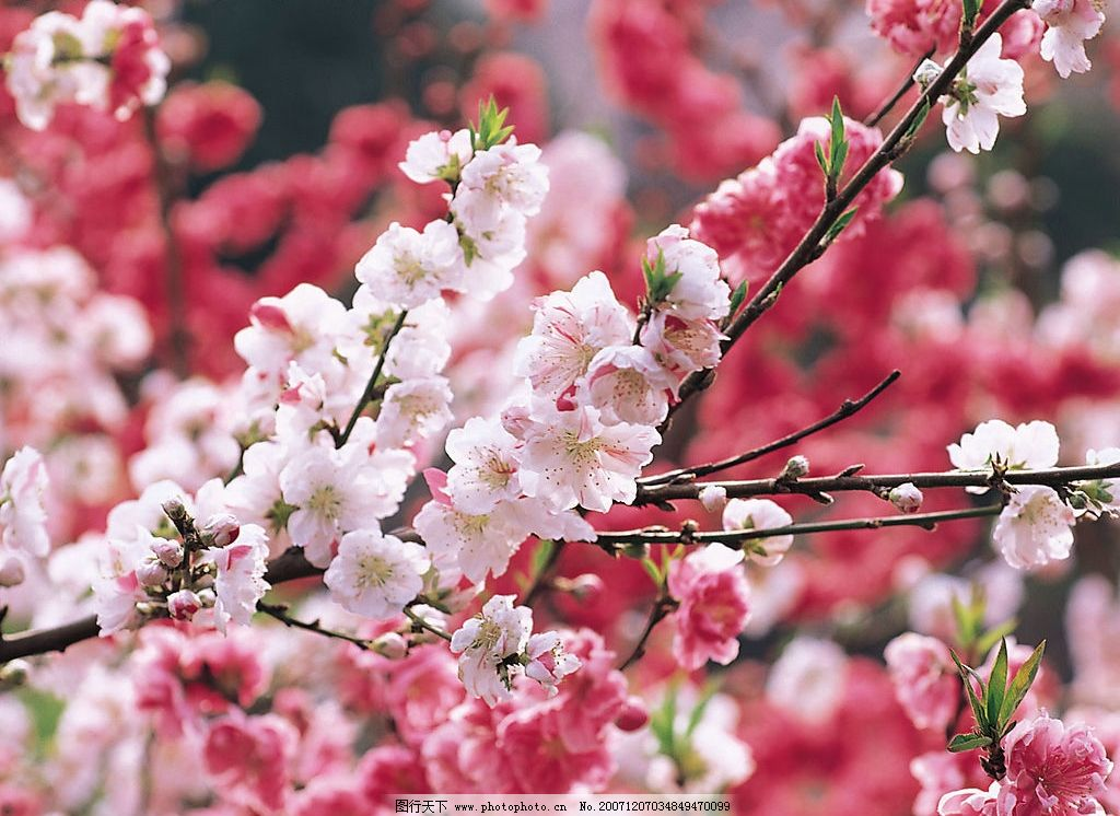 春暖花开45 桃花 自然景观 自然风景 摄影图库