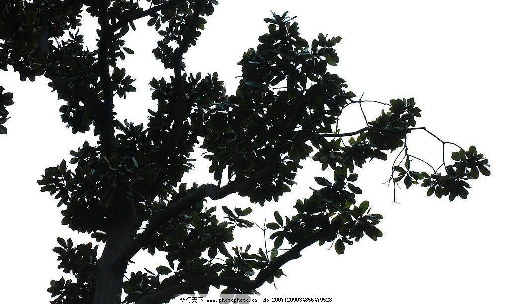 艺术风景-深秋白玉兰树图片