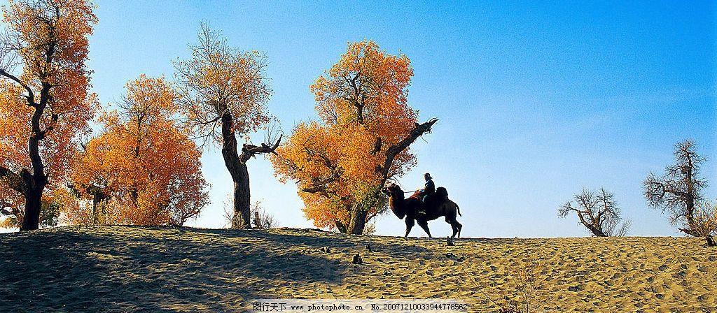沙漠胡杨 沙漠 胡杨 骆驼 旅游摄影 国内旅游 自然风景 摄影图库 300