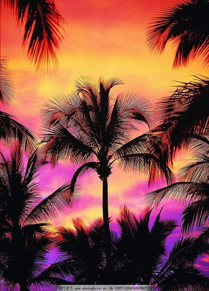 黄昏椰树 自然景观 自然风景 森林树木 摄影图库 72 jpg