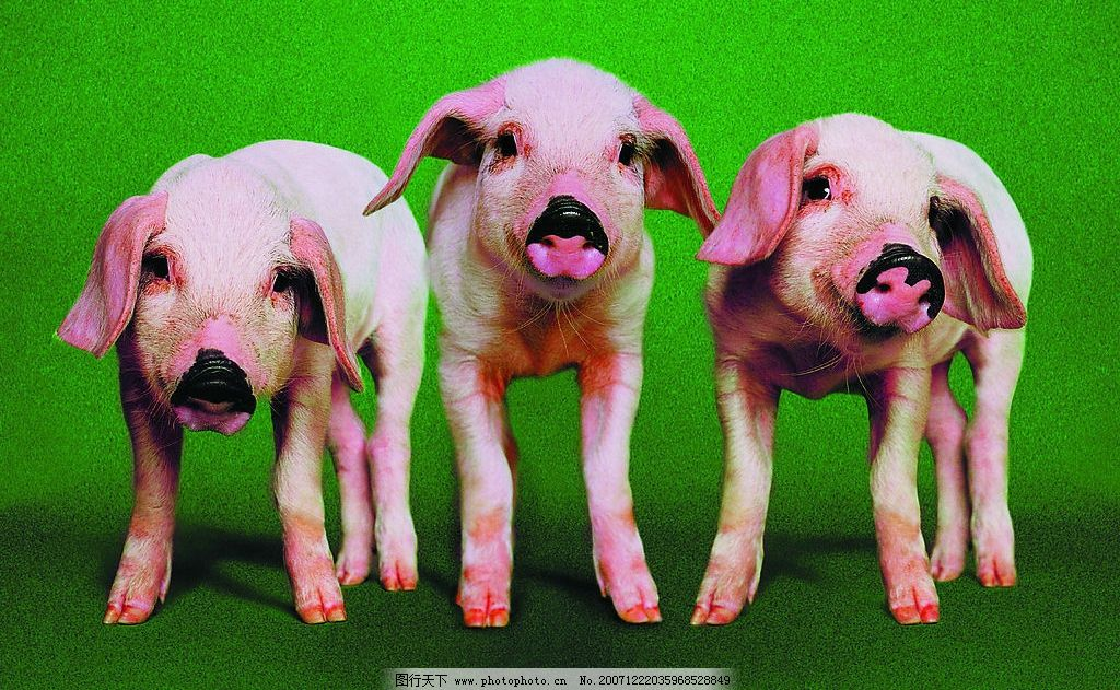 三头小猪 小猪 生物世界 家禽家畜 农场记趣 摄影图库 72 jpg