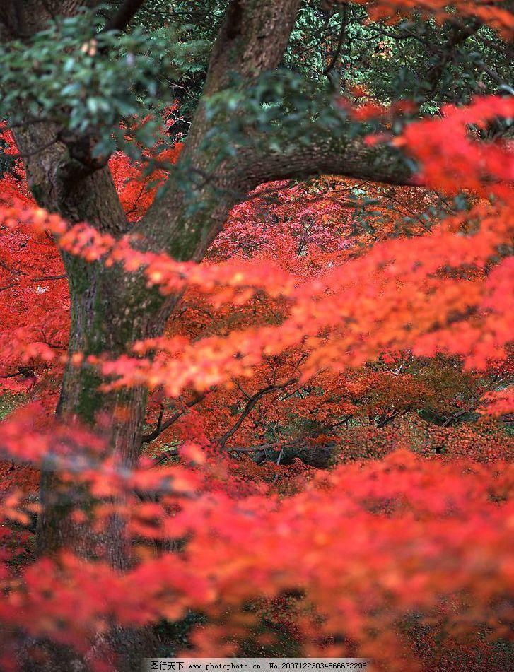 枫叶 自然景观 自然风景 摄影图库 72 jpg