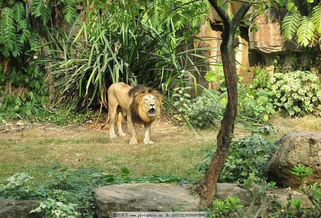 狮吼 雄狮在动物园难得的一吼! 生物世界 野生动物 摄影图库 180 jpg