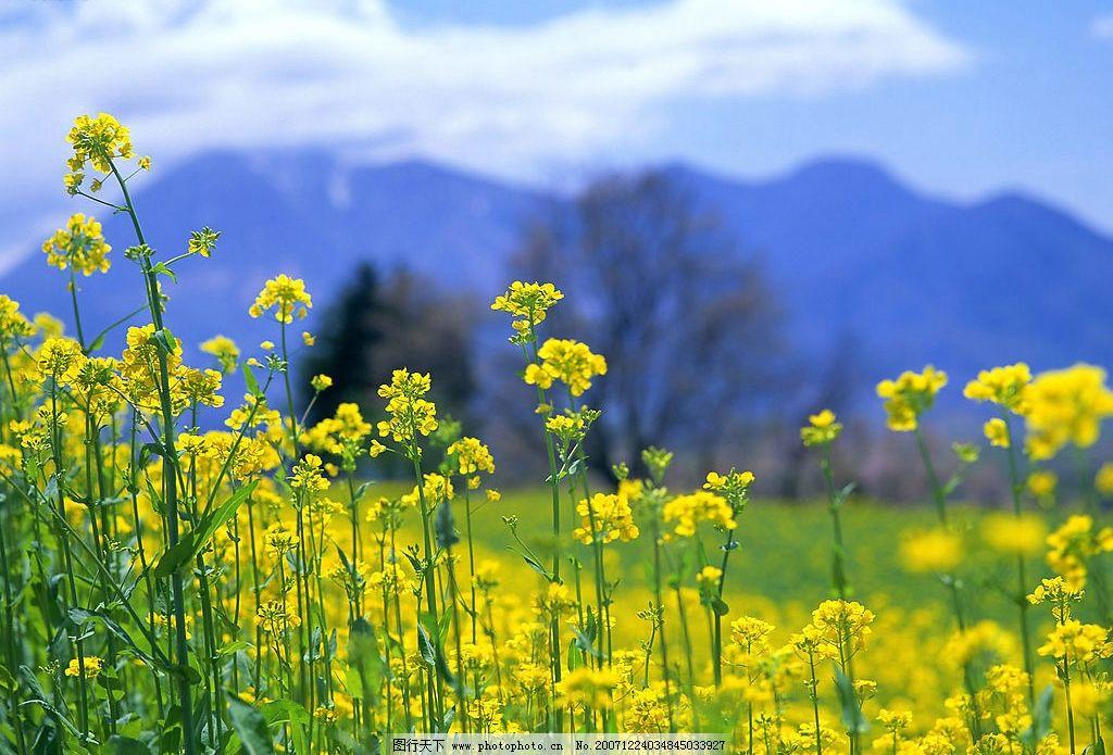 油菜花 自然景观 自然风景 风景 摄影图库 350 jpg