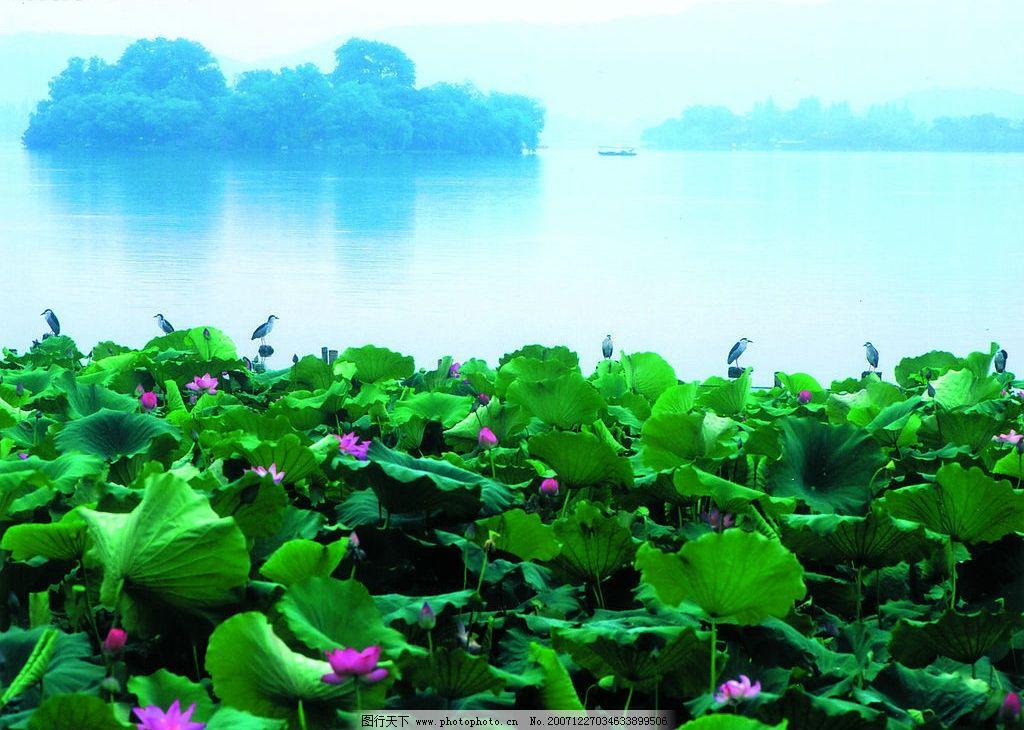 西湖之夏满湖新绿 湖泊 蓝天 荷叶 荷花 风景 鸟 西湖美景 摄影图库