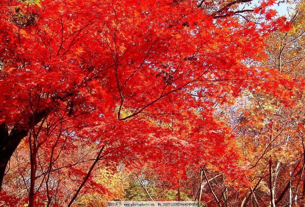 枫叶 自然景观 山水风景 风景 摄影图库 72 jpg