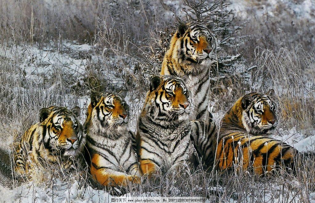 壁纸 动物 虎 老虎 桌面 1024_659