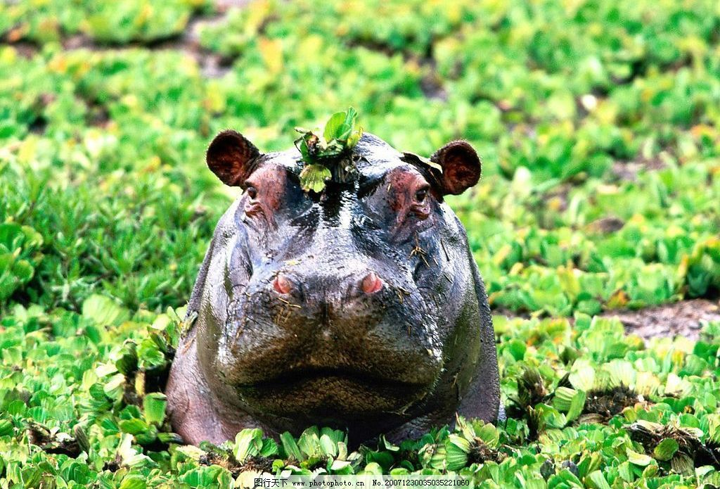 河马 生物世界 野生动物 摄影图库 jpg