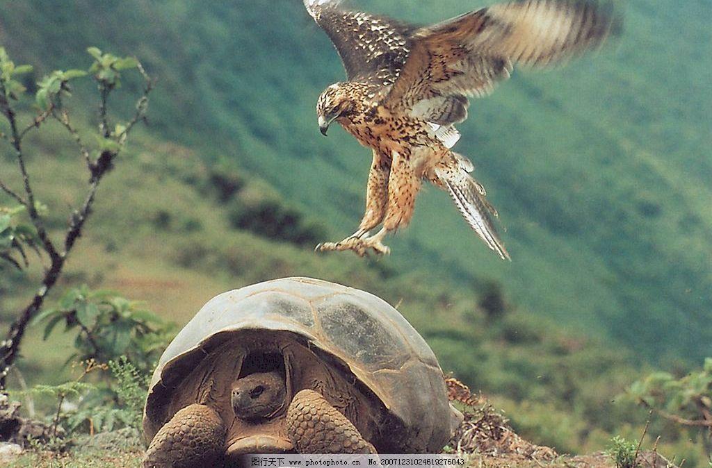 鹰与龟 鹰 鸟类  动物 生物世界 鸟类 空中精灵 设计图库   jpg