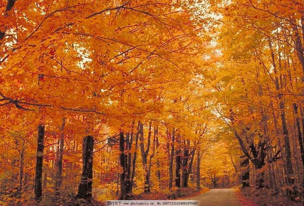枫树 秋天 自然景观 自然风景 背景 摄影图库 350 jpg